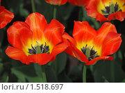 Купить «Тюльпаны», эксклюзивное фото № 1518697, снято 11 мая 2009 г. (c) lana1501 / Фотобанк Лори