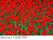 Купить «Тюльпаны», эксклюзивное фото № 1518797, снято 11 мая 2009 г. (c) lana1501 / Фотобанк Лори
