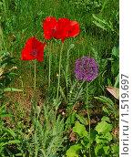 Купить «Красные маки и декоративный лук», эксклюзивное фото № 1519697, снято 4 июня 2009 г. (c) lana1501 / Фотобанк Лори