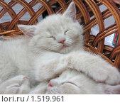 Купить «Серые котята спят в корзинке», фото № 1519961, снято 19 апреля 2008 г. (c) Наталья Двухимённая / Фотобанк Лори