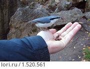 Птица поползень ест с руки орехи. Стоковое фото, фотограф Медер Анатолий Викторович / Фотобанк Лори