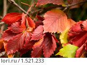 Купить «Осенние листья», фото № 1521233, снято 12 сентября 2008 г. (c) Дмитрий Ковязин / Фотобанк Лори
