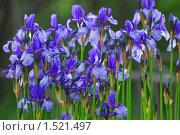 Цветы Ириса сибирского (Iris sibirica) Стоковое фото, фотограф Алёшина Оксана / Фотобанк Лори