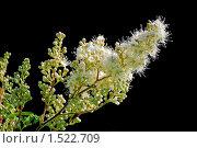 Купить «Рябинник рябинолистный (Sorbaria sorbifolia) на черном фоне», фото № 1522709, снято 11 июля 2009 г. (c) Алёшина Оксана / Фотобанк Лори