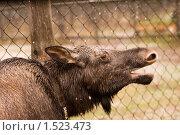 Лось. Стоковое фото, фотограф Калинина Алиса / Фотобанк Лори