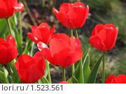 Красные тюльпаны. Стоковое фото, фотограф Дмитрий Степной / Фотобанк Лори