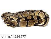 Купить «Питон королевский, Python regius», фото № 1524777, снято 2 марта 2010 г. (c) Василий Вишневский / Фотобанк Лори