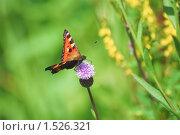 Купить «Бабочка на цветке  осота», эксклюзивное фото № 1526321, снято 11 июля 2009 г. (c) Алёшина Оксана / Фотобанк Лори