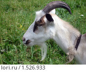 Купить «Коза рогатая», фото № 1526933, снято 27 июня 2006 г. (c) Jumbo / Фотобанк Лори