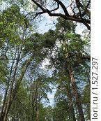 Купить «Сосновый бор», фото № 1527297, снято 14 мая 2006 г. (c) Сычёва Татьяна / Фотобанк Лори