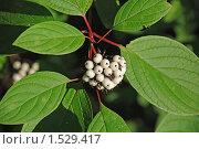 Купить «Снежная ягода», эксклюзивное фото № 1529417, снято 10 августа 2009 г. (c) lana1501 / Фотобанк Лори