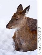 Купить «Самка оленя, лежащая на снегу», фото № 1536213, снято 5 января 2010 г. (c) Евгений Прокофьев / Фотобанк Лори