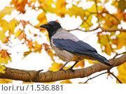 Купить «Ворона на фоне желтых осенних листьев», фото № 1536881, снято 11 октября 2009 г. (c) Владимир Журавлев / Фотобанк Лори