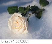 Роза на снегу. Стоковое фото, фотограф Юрий Ческидов / Фотобанк Лори