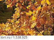 Купить «Листья дуба поздней осенью», фото № 1538925, снято 10 октября 2009 г. (c) Алёшина Оксана / Фотобанк Лори