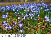 Купить «Хионодокса (Chionodoxa) на поляне», эксклюзивное фото № 1539669, снято 26 апреля 2009 г. (c) Алёшина Оксана / Фотобанк Лори