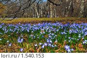 Купить «Хионодокса (Chionodoxa) на поляне», эксклюзивное фото № 1540153, снято 26 апреля 2009 г. (c) Алёшина Оксана / Фотобанк Лори