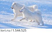 Две собаки породы самоед - щенок и взрослый пес. Стоковое фото, фотограф Абрамова Ксения / Фотобанк Лори