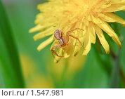Купить «Паук-краб (сем.Thomisidae - Crab spiders)», эксклюзивное фото № 1547981, снято 19 мая 2009 г. (c) Алёшина Оксана / Фотобанк Лори