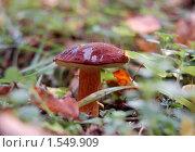 Купить «Польский гриб (лат. Xerocomus badius) — гриб рода Моховик», фото № 1549909, снято 30 сентября 2007 г. (c) Елена Ильина / Фотобанк Лори