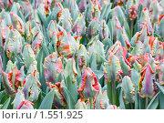 Купить «Тюльпаны», фото № 1551925, снято 4 марта 2010 г. (c) Татьяна Макотра / Фотобанк Лори
