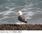 Чайка на морском берегу. Стоковое фото, фотограф Надежда Курило / Фотобанк Лори