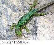 Зеленая ящерица на камне. Стоковое фото, фотограф Надежда Курило / Фотобанк Лори