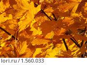 Купить «Осенние кленовые листья», фото № 1560033, снято 1 октября 2005 г. (c) Иван Бондаренко / Фотобанк Лори
