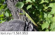 Купить «Богомол на пеньке», фото № 1561953, снято 13 сентября 2009 г. (c) Евгений Ковешников / Фотобанк Лори
