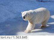 Купить «Белые медведи в московском зоопарке», фото № 1563845, снято 18 марта 2010 г. (c) Михаил Борсов / Фотобанк Лори