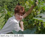Купить «Дачница собирает чёрную смородину», фото № 1565885, снято 25 июля 2009 г. (c) Коротнев Виктор Георгиевич / Фотобанк Лори