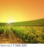Купить «Виноградники на холме», фото № 1566925, снято 15 июля 2008 г. (c) Константин Сутягин / Фотобанк Лори
