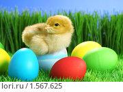 Купить «Пасхальный цыпленок», фото № 1567625, снято 26 апреля 2009 г. (c) Александр Паррус / Фотобанк Лори