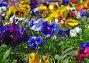 Фиалка трехцветная, Анютины глазки (Viola tricolor), эксклюзивное фото № 1569357, снято 12 мая 2008 г. (c) Алёшина Оксана / Фотобанк Лори