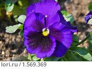 Фиалка трехцветная. Анютины глазки (Viola tricolor) Стоковое фото, фотограф Алёшина Оксана / Фотобанк Лори