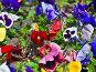 Фиалка трехцветная, Анютины глазки (Viola tricolor), эксклюзивное фото № 1570669, снято 12 мая 2008 г. (c) Алёшина Оксана / Фотобанк Лори