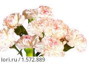 Купить «Букет бело-розовых гвоздик», фото № 1572889, снято 12 марта 2009 г. (c) Юрий Брыкайло / Фотобанк Лори