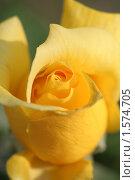 Купить «Бутон желтой розы», фото № 1574705, снято 12 августа 2007 г. (c) Евгений Батраков / Фотобанк Лори