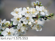 Цвет вишни. Стоковое фото, фотограф EtoileDeChemin / Фотобанк Лори