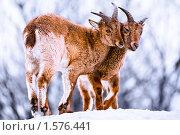 Купить «Горные козлы», фото № 1576441, снято 20 марта 2010 г. (c) Евгений Захаров / Фотобанк Лори