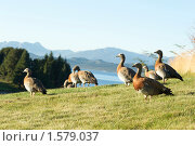 Купить «Стая птиц на берегу», фото № 1579037, снято 12 марта 2010 г. (c) А. Клипак / Фотобанк Лори
