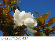 Купить «Цветок магнолии крупноцветковой (Magnolia Grandiflora) на фоне синего неба», фото № 1580437, снято 5 июня 2008 г. (c) Анна Мартынова / Фотобанк Лори