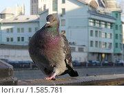 Купить «Голубь», эксклюзивное фото № 1585781, снято 5 ноября 2009 г. (c) lana1501 / Фотобанк Лори