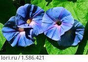 Вьюнок Ипомея голубого цвета. Стоковое фото, фотограф Valentina Dimitrova / Фотобанк Лори