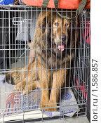 Купить «Тибетский мастиф в транспортной клетке», фото № 1586857, снято 27 марта 2010 г. (c) Сергей Лаврентьев / Фотобанк Лори