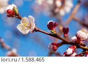 Купить «Ветка цветущей вишни на фоне голубого неба», фото № 1588465, снято 2 мая 2009 г. (c) Максим Лоскутников / Фотобанк Лори