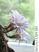 Цветение кактуса. Стоковое фото, фотограф 1 / Фотобанк Лори