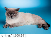 Британский кот. Стоковое фото, фотограф Коваль Василий / Фотобанк Лори