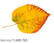 Купить «Желтый осенний лист на белом фоне», фото № 1600765, снято 17 января 2018 г. (c) A Челмодеев / Фотобанк Лори