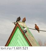 Купить «Пять голубей на зеленой крыше», эксклюзивное фото № 1601521, снято 27 марта 2010 г. (c) Щеголева Ольга / Фотобанк Лори